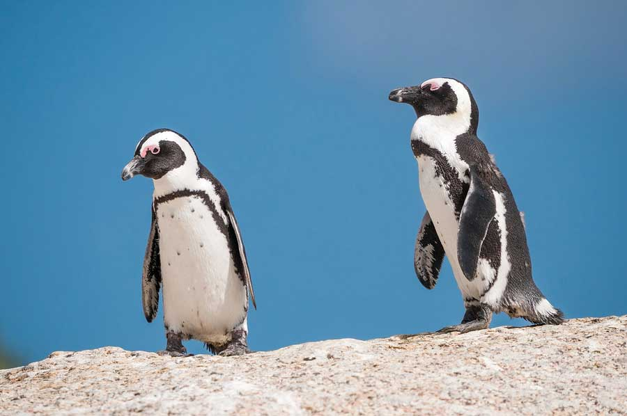 African penguins (Spheniscus demersus) also known as jackass penguins or black-footed penguins at the Boulders section of the Table Mountain National Park at Simonstown in Cape Town South Africa