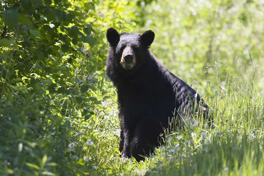 The American black bear is a medium-sized bear native to North America.  Black bears are omnivores with their diets varying greatly depending on season and location.