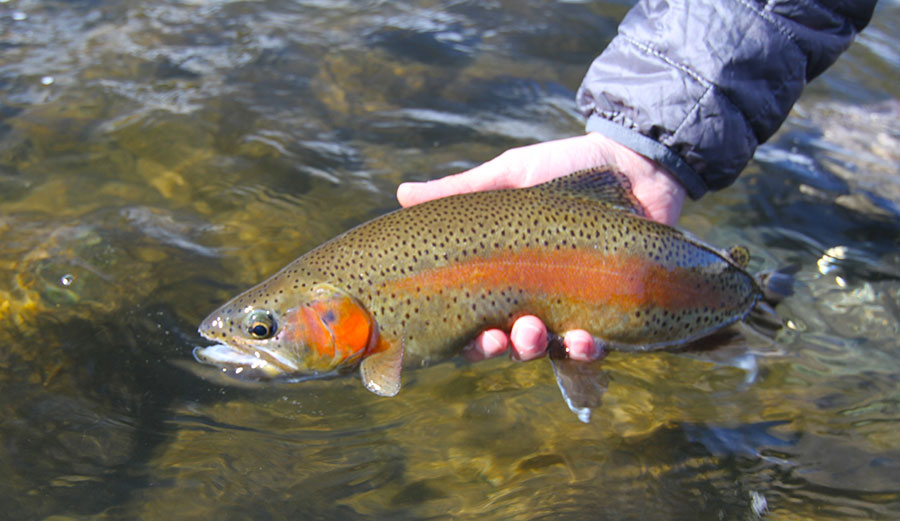 Animas River Fly Fishing Rainbow Trout. This and other Trout species might be endangered.