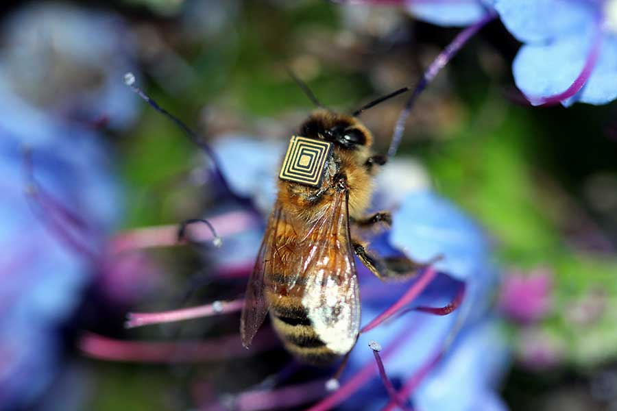 Honey bees are a major pollinator of flowers and crops, up to one third of the food we eat relies on pollination.