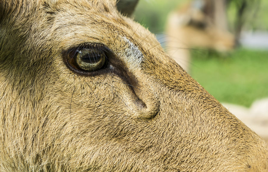 Horizontal pupils help grazing animals to spot predators in the field.