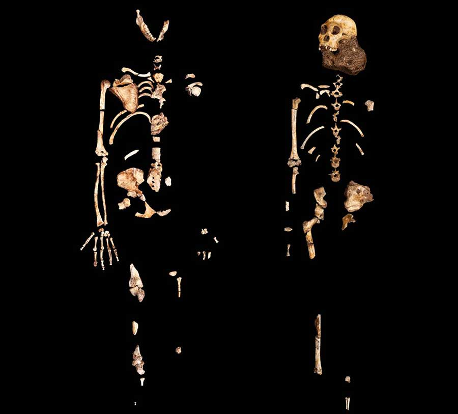 Two partial skeletons of Australopithecus sediba were unveiled to the public in 2010. The one on the left represents an adult female, the one on the right a juvenile male nicknamed Karabo. Image: Courtesy of Lee Berger