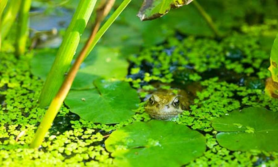A survey has found that British garden ponds are being unwittingly polluted by tap water which is added in order to keep water levels high. Photograph: Ashley Cooper/Corbis Ashley Cooper/Ashley Cooper/Corbis