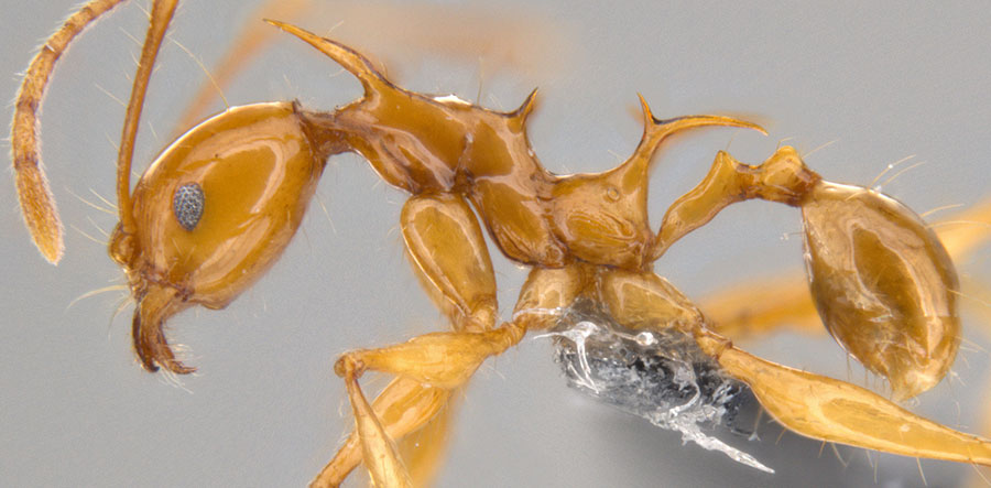 ants-game-of-thrones