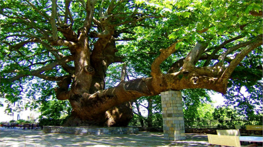 Pretty much like the Bosnian Pine Tree, the Plane Tree of Tsagarada is one of the oldest trees in the world. Image Credit: Discovery