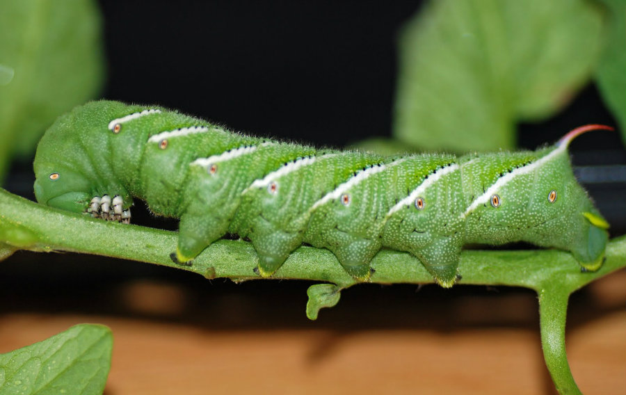 Hornworms' immunodefense capacities are astonishing considering they can withstand several types of pesticides. Image Credit: Garden Web