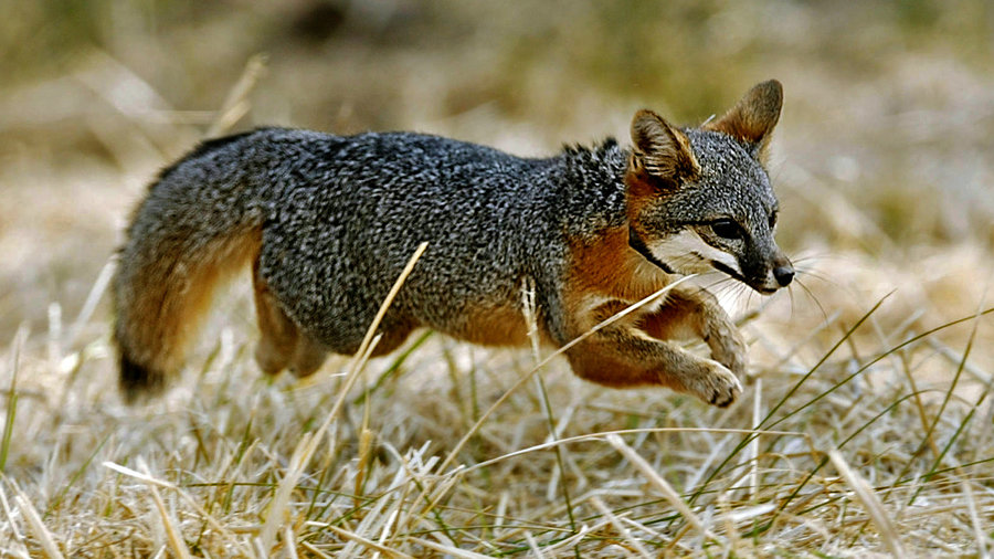 A fourth tiny fox species from Santa Catalina Island is also registering positive results by being reclassified from endangered to threatened. Image Credit: NPR