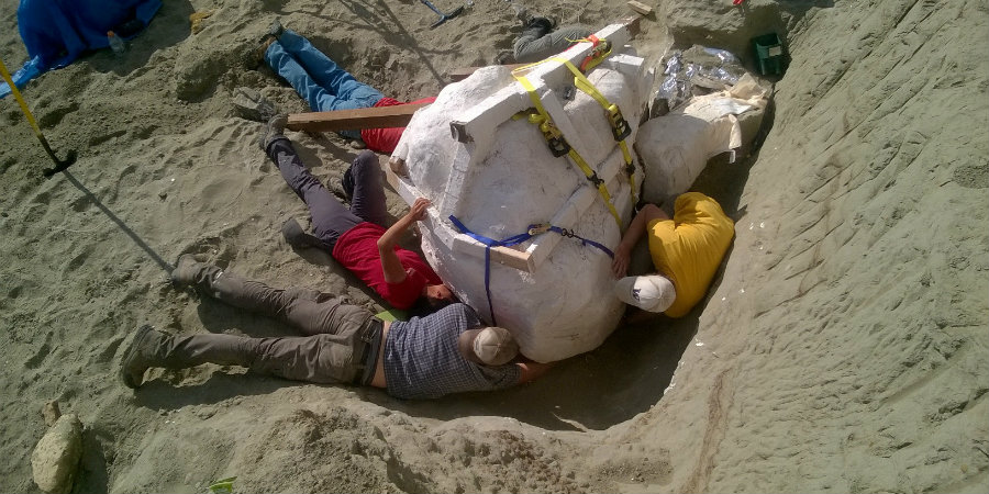 Paleontologists at Burke prepare to remove the fossil from its original location. Image Credit: Washington Edu