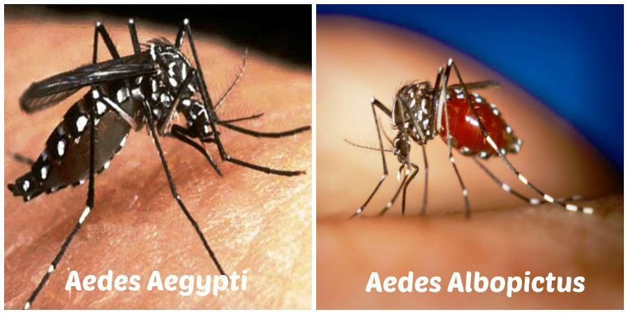 The disease is transmitted by two mosquitoes, the Aedes Aegypti and Aedes Albopictus, both of which are found in the United States. Photo credit: Salud y Amor Blogspot