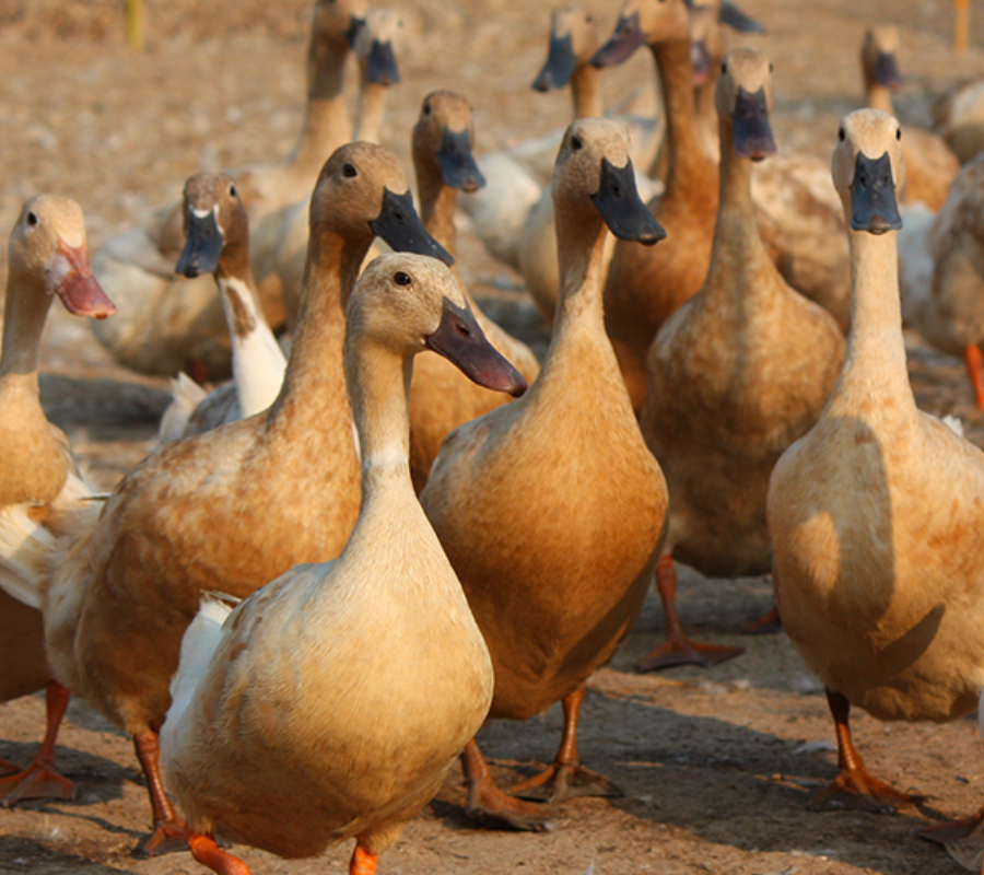 Ducks, avian influenza