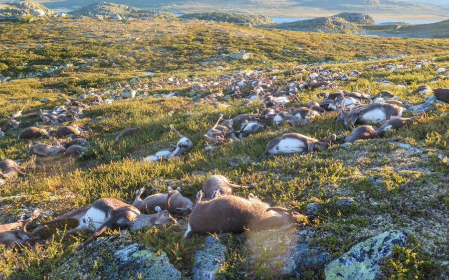 Harrowing images show  hundreds of carcasses of reindeers distributed all along the Hardangervidda mountain plateau that were killed after being struck by lightning. Photo credit: NTB SCANPIX / The Telegraph