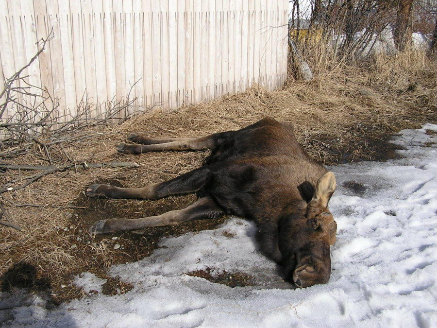 In the U.S., carfentanil is mostly used to tranquilize moose and deer, applying a dose on their back, neck or shoulders. Photo credit: Alaska Dispatch News