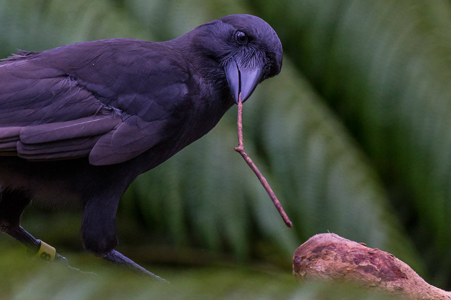 The Hawaiian crows use sticks as New Caledonian crows to get food from difficult places. Photo credit: Ken Bohn / San Diego Zoo Global / New Scientist