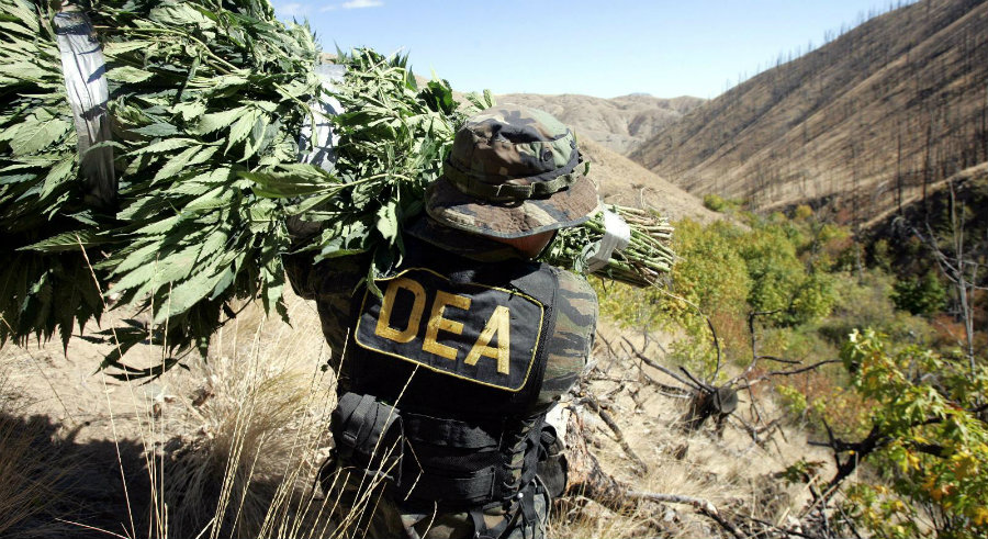 DEA) has worked with marijuana eradication programs all over the United States' territory. Photo credit: The Smoking Bud