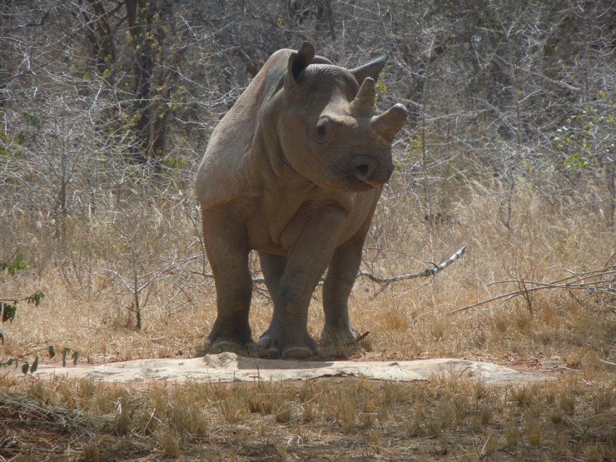 Grumeti exploring her new home in Africa four years ago. Photo credit: Prweb