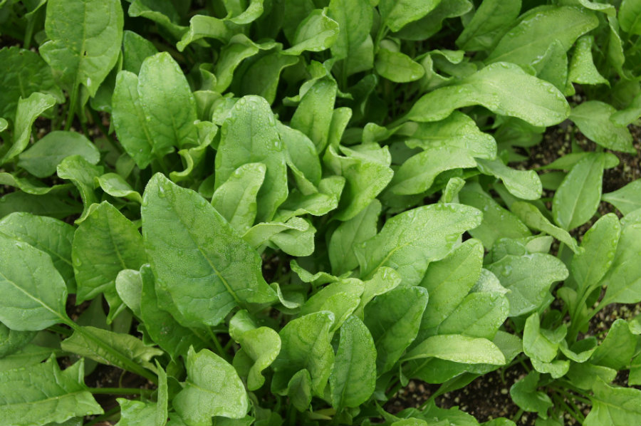 Spinach plants have carbon-nanotube-based nanoparticles in their leaves that are sensitive to nitroaromatics, an element found in several explosives. Photo credit: The Grantham Gardener