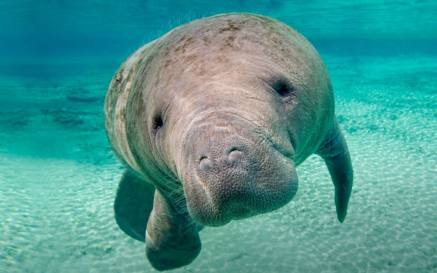 November is designated as the Manatee Awareness Month. Photo credit: Animalia Life