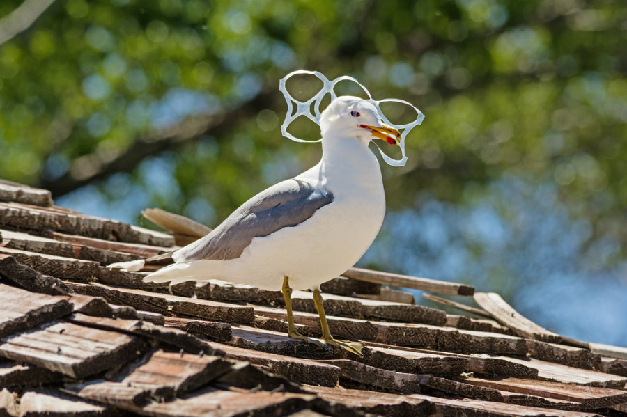 Seabirds eat plastic trash because it smells like food. Photo credit:  Tom Grundy / Shutterstock / Salon