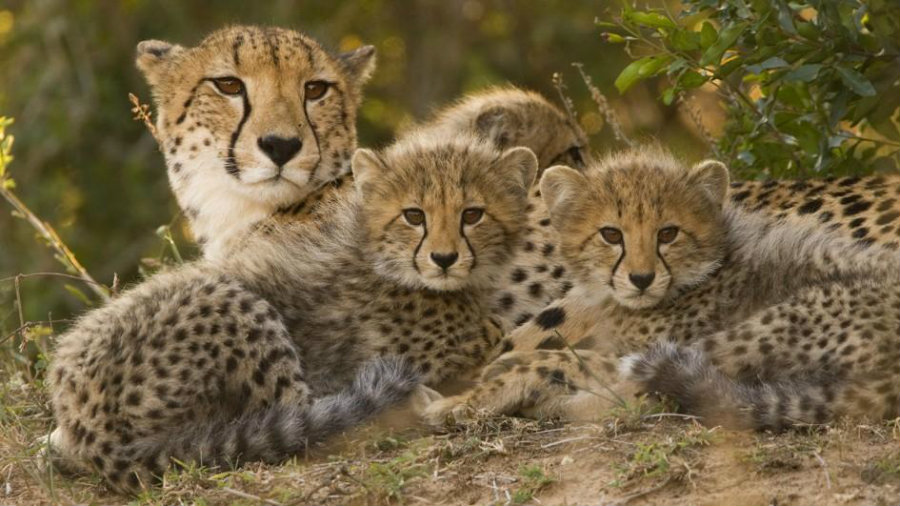 A recent report shows how cheetah populations around the world have decreased dramatically. Photo credit: Nat Geo Kids