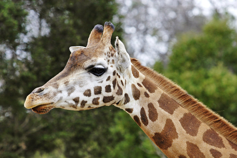 The giraffe has moved from Least Concern to Vulnerable due to a dramatic decline. Photo credit: Melbourne Zoo / Wikipedia