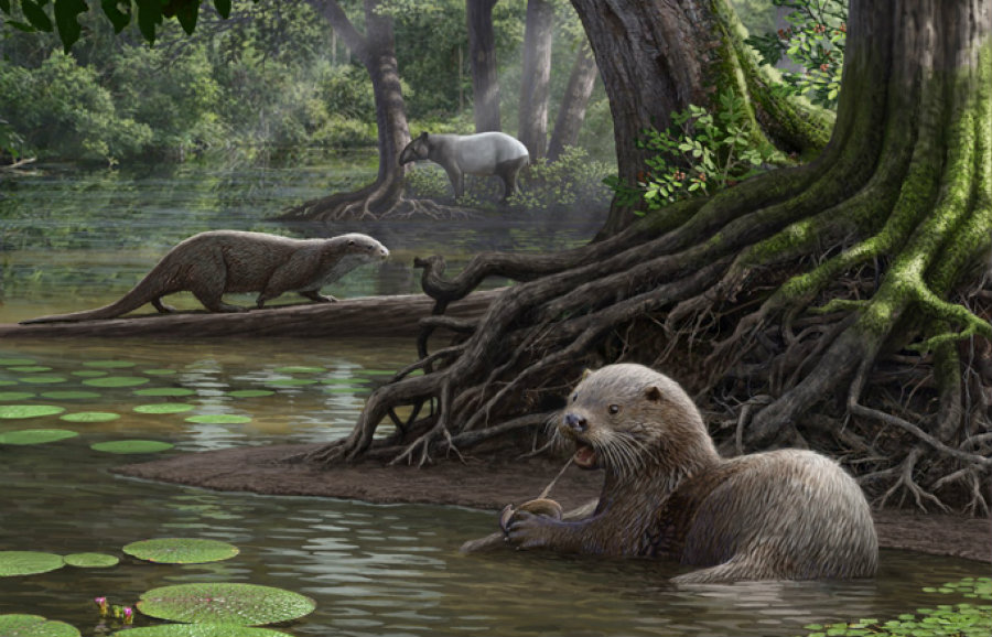 The scientific name of the wolf-sized otter is Siamogale melilutra. Image credit: Cleveland Museum of Natural History / The Washington Post