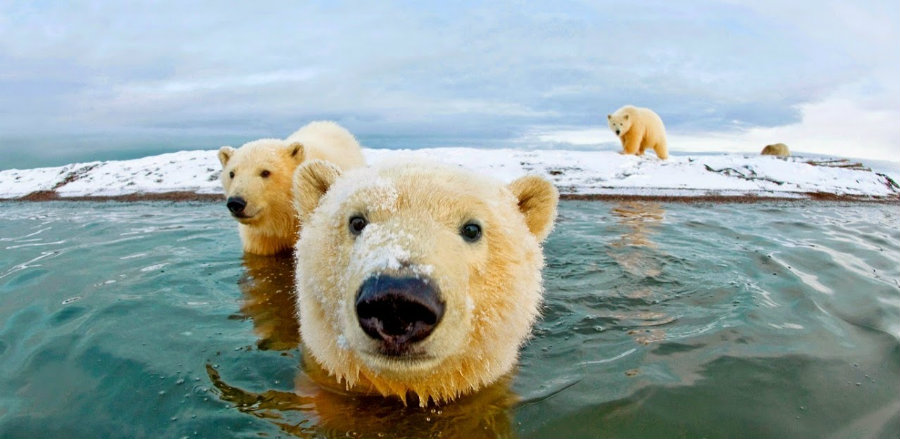 The Fish and Wildlife Service stated that the decline of sea ice is a threat to the polar bear's habitat. Photo credit: Churchillpolarbears.org