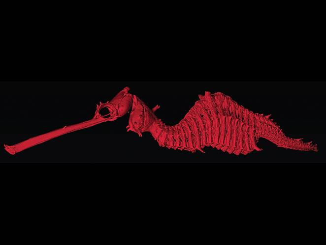 Rare ruby seadragon seen alive for the first time