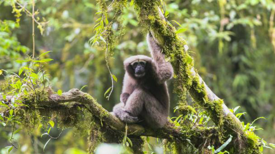 """A group of researchers found a new breed of Gibbon monkeys and named it """"Skywalker."""" Photo credit: Zoological Society of London / PA / Belfast Telegraph"""