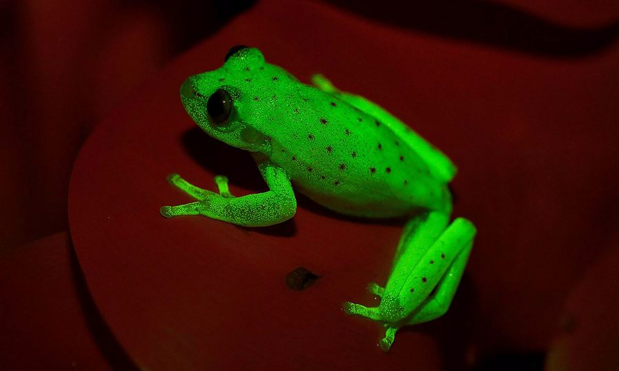 A fluorescent frog!