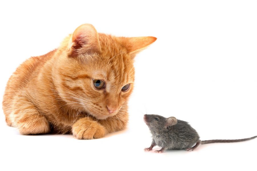 Mouse and cat/ House Mouse