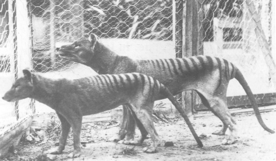 Rumors of Tasmanian tigers spottings on the wild have persisted. Image credit: Pinterest