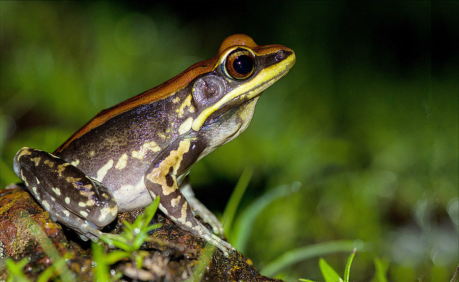The mucus comes from the Hydrophylax bahuvistara, a variety of frog native to southern India. Image credit: Wikipedia