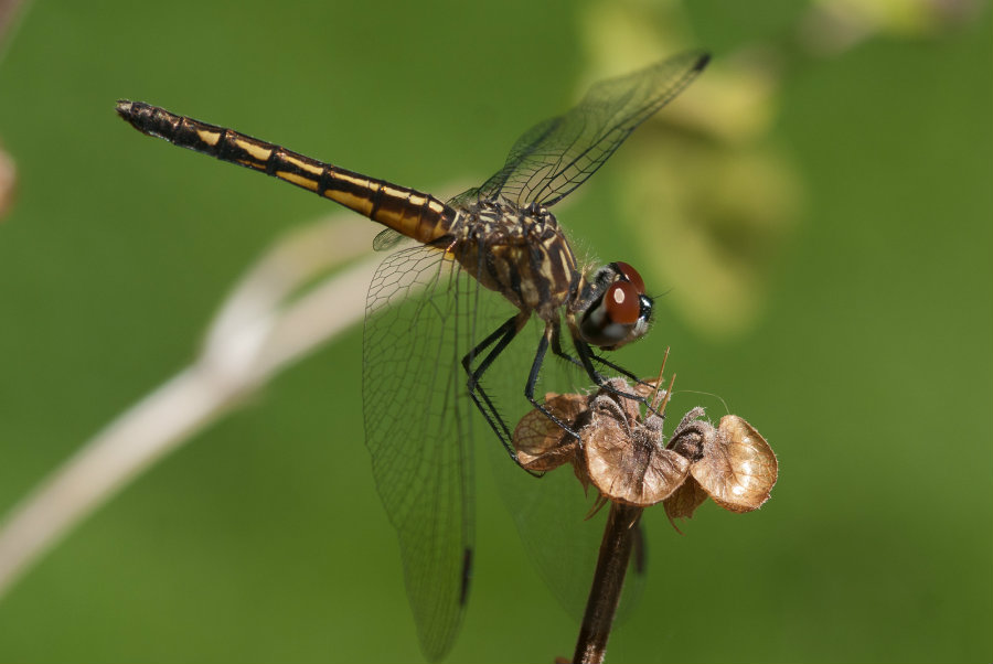 When female dragonflies mate, they want to lay their eggs and be left alone. Image credit: Bythedrop.com