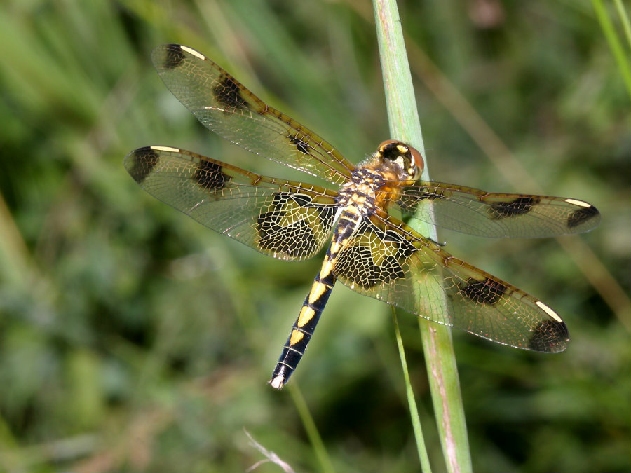 A new study found that female dragonflies play dead to avoid having sex with males. Image credit: The Flying Kiwi