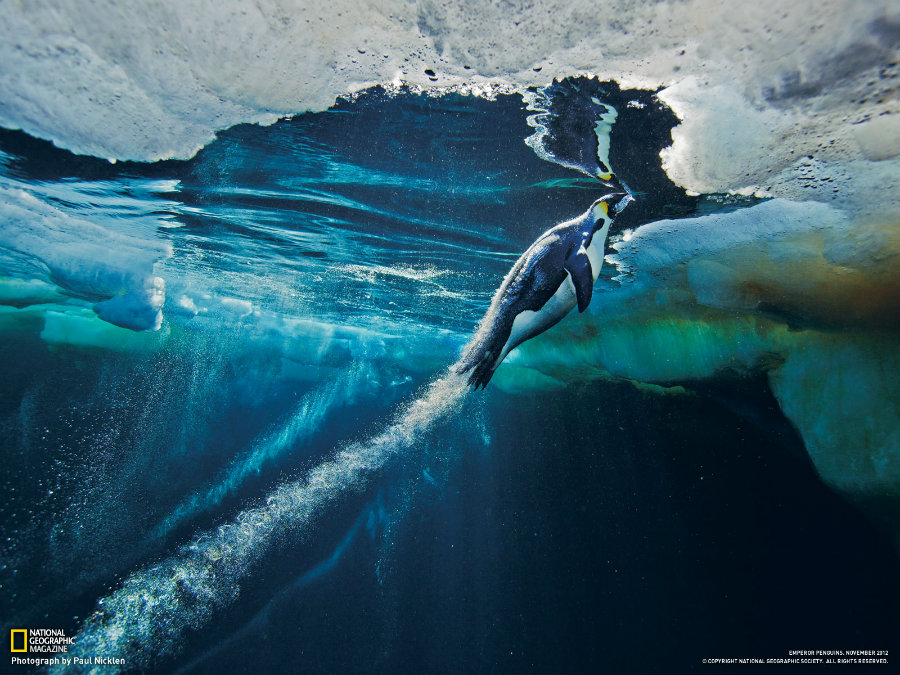 Image credit: Paul Nicklen / National Geographic