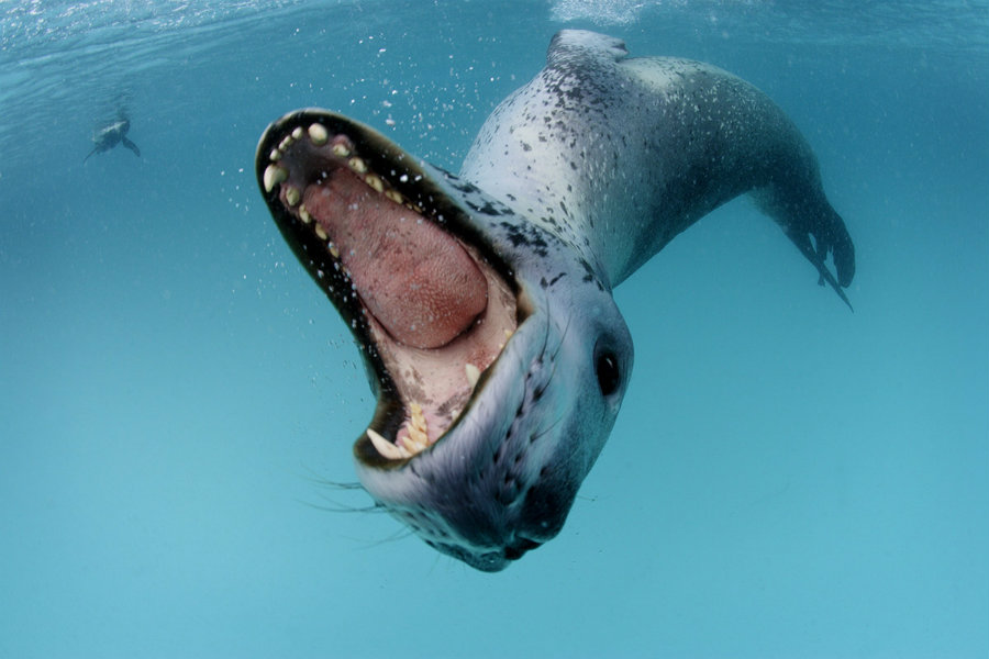 Image credit: Paul Nicklen / FauneSauvage.fr