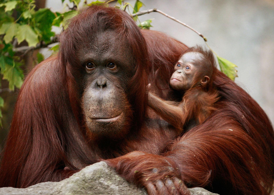 """The Orangutan is considered """"critically endangered"""" due to human activities. Image Credit: Scott Olson/Getty Images"""