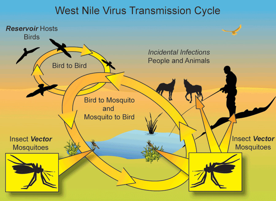 The infection cycle of the West Nile Virus. Image Credit: Tooele County Health Department