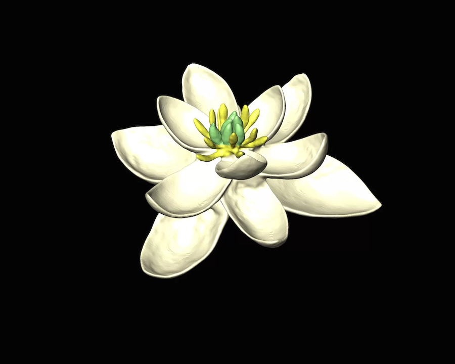 A model of the reconstructed flower. It has both female and male parts. Image Credit: Hervé Sauquet and Jürg Schönenberger