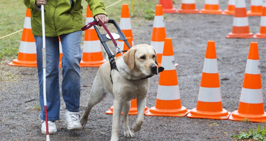 Just like contest dogs, guide dogs require training to excel and serve their purpose. Brian Fischler / Cesar's Way