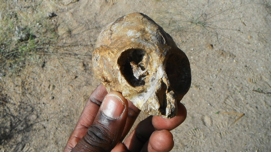 13-million-year-old infant skull sheds light on ape ancestry