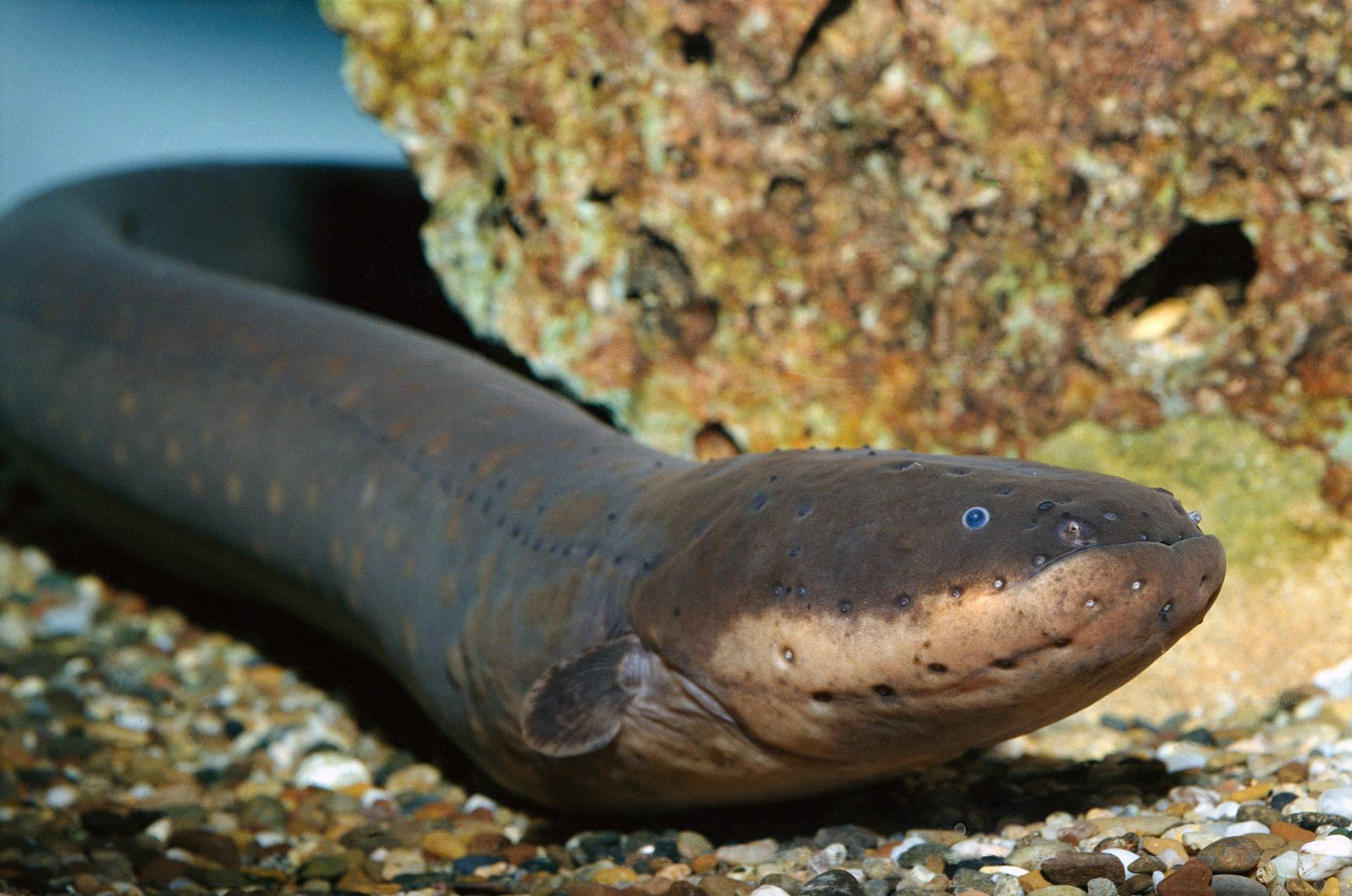 The Electric Eel (Electrophorus electricus) can generate up to 220 volts in fresh water. Image Credit: National Geographic