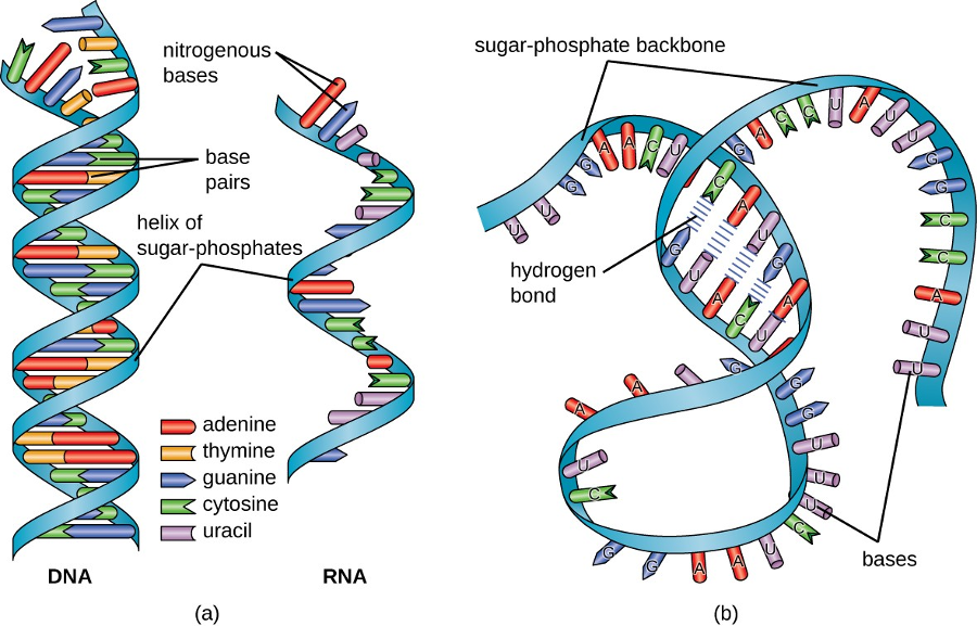A diagram of DNA and RNA. RNA is much simpler thus a key component for life. Image Credit: Lumen Learning