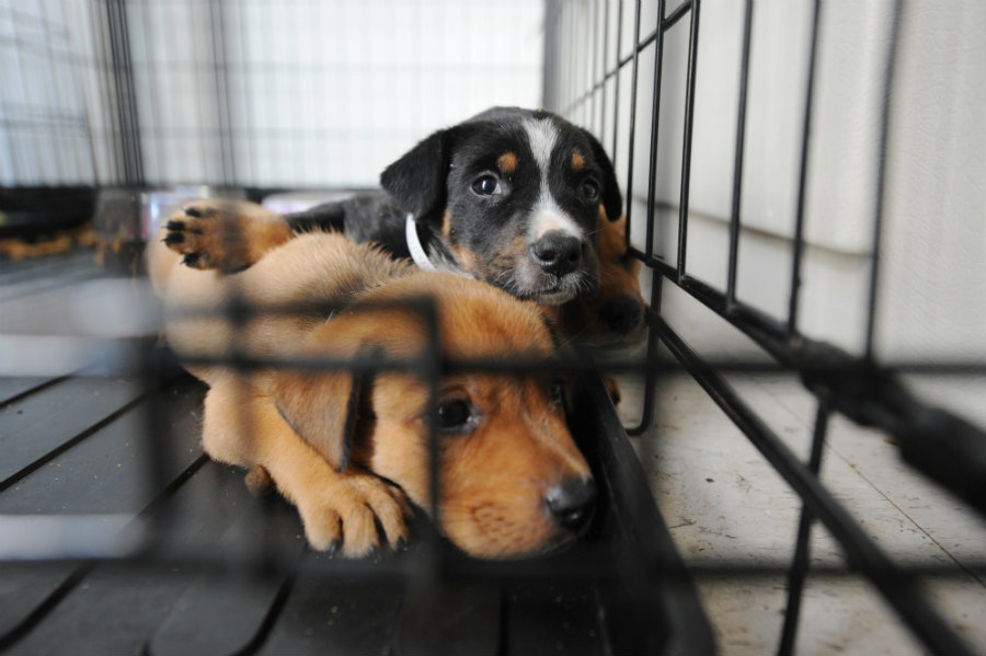 Infected Puppies Put 9 in Hospital, Sicken 30 More
