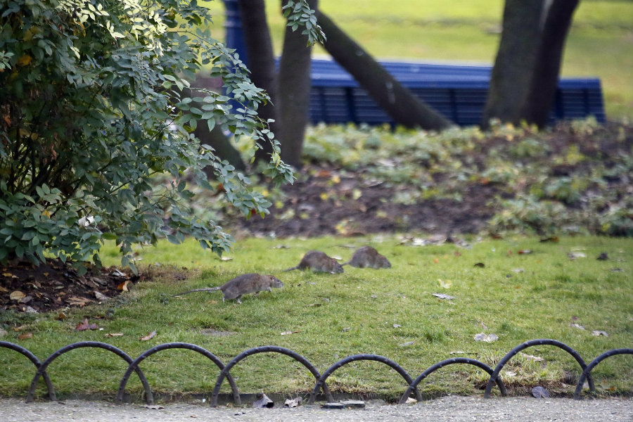 Paris is facing its worst rat crisis in decades, according to the New York Times. Image credit: New York Post