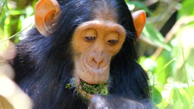 Chimpanzees boozing and getting drunk on Palm Wine