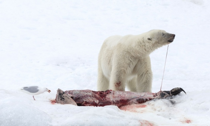 polar bears eating away at the carcasses of white-beaked dolphins at Raudfjorden