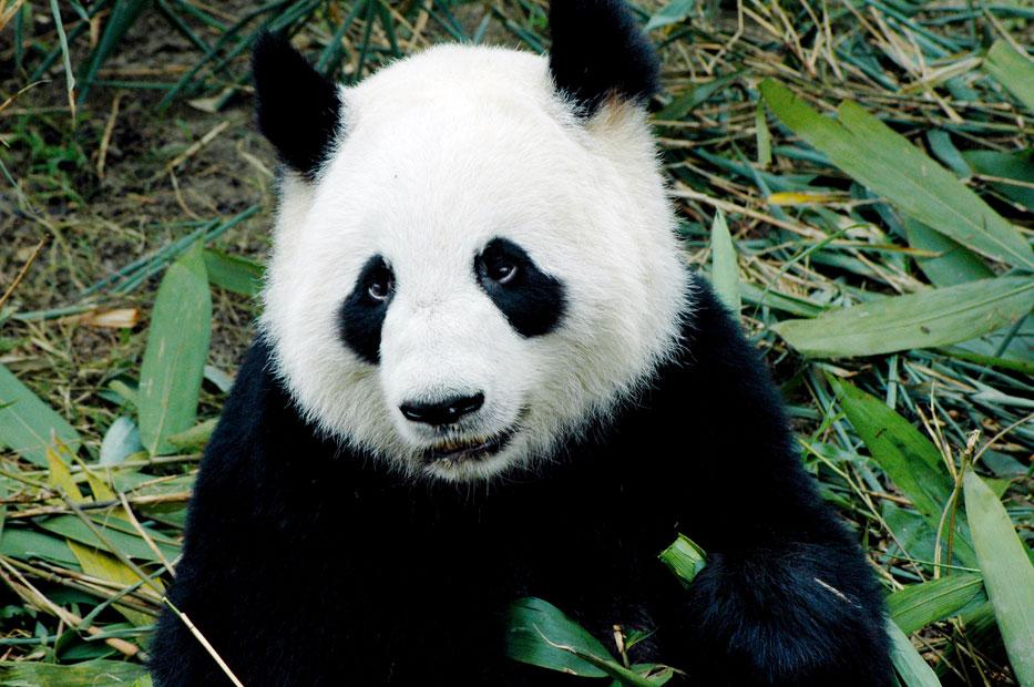 giant-panda-bear