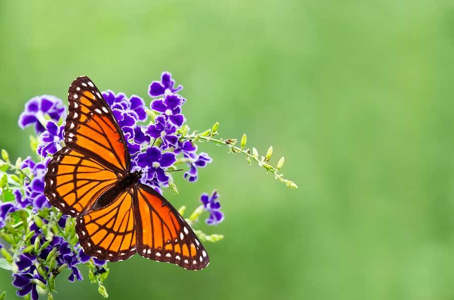 butterflies-specie-extinction