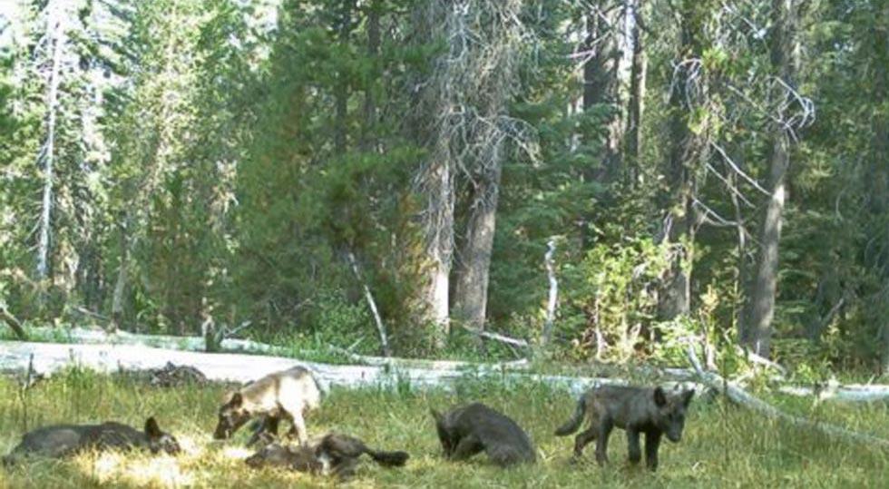 gray-wolf-pack-california